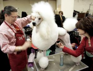 Dog Show - Grooming